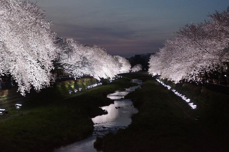 野川の桜(その3)☆夕焼けと桜ライトアップのコラボ_a0122932_12224524.jpg
