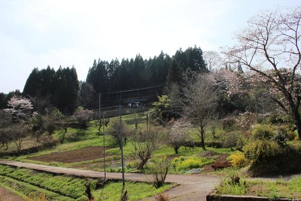 桜..さくら..サクラ❀_a0174458_081994.jpg
