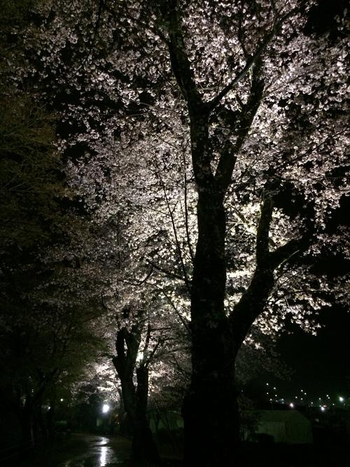 桜も終盤ですね…_f0230767_10505644.jpg