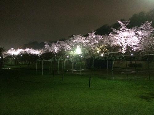 桜も終盤ですね…_f0230767_10511258.jpg