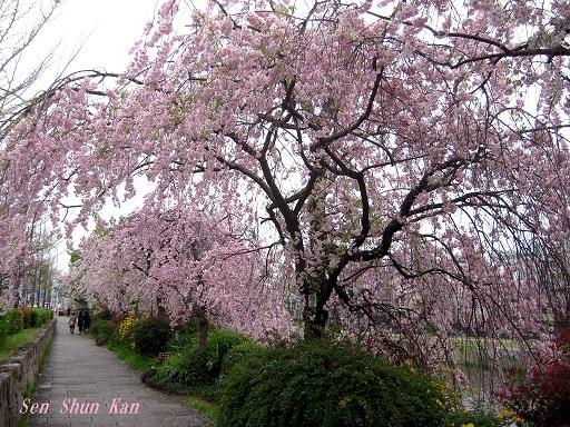 鴨川の紅枝垂れ桜 2015年4月6日_a0164068_0325257.jpg