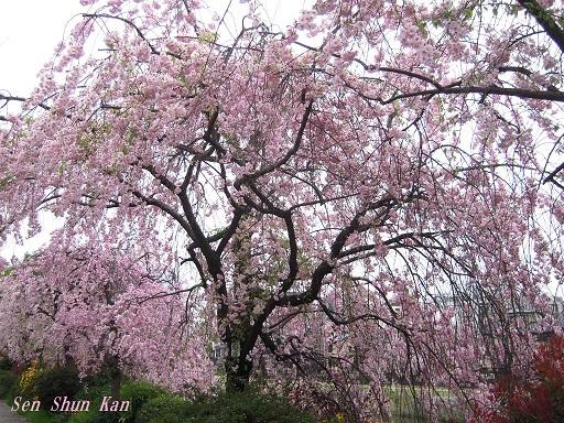 鴨川の紅枝垂れ桜 2015年4月6日_a0164068_0335597.jpg