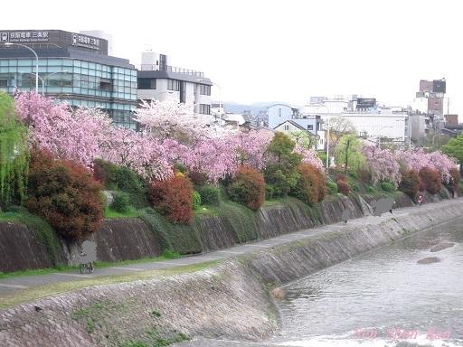 鴨川の紅枝垂れ桜 2015年4月6日_a0164068_0442895.jpg