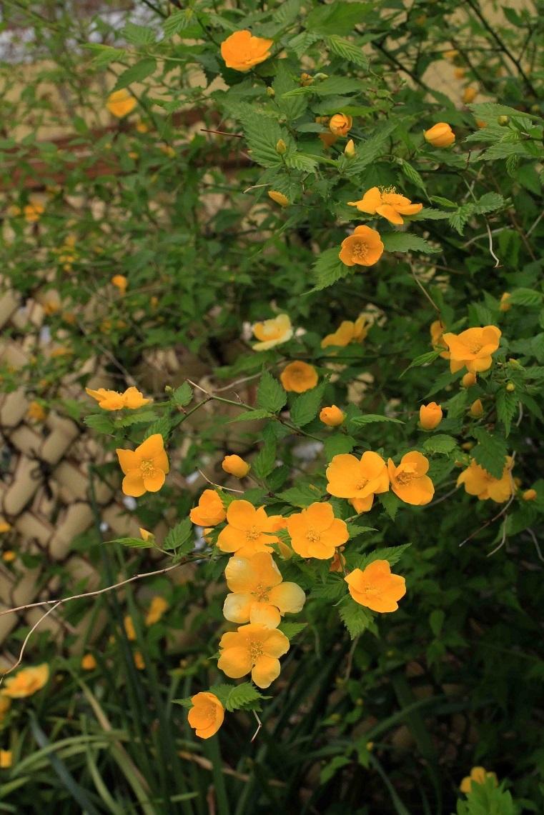 春はここから  ~ユキノシタ、ヤマブキ~_a0107574_20082280.jpg