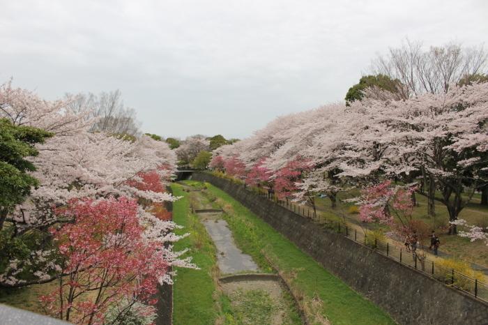 2015年 昭和記念公園の桜とチューリップ_a0180279_15284061.jpg