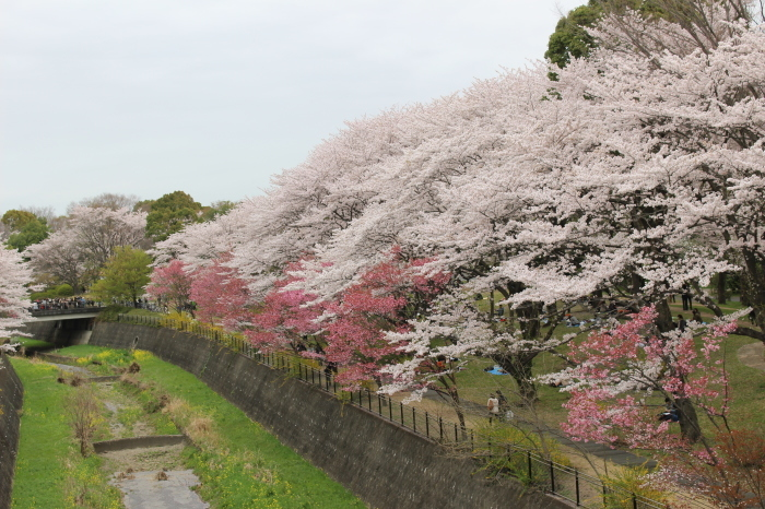 2015年 昭和記念公園の桜とチューリップ_a0180279_15294186.jpg