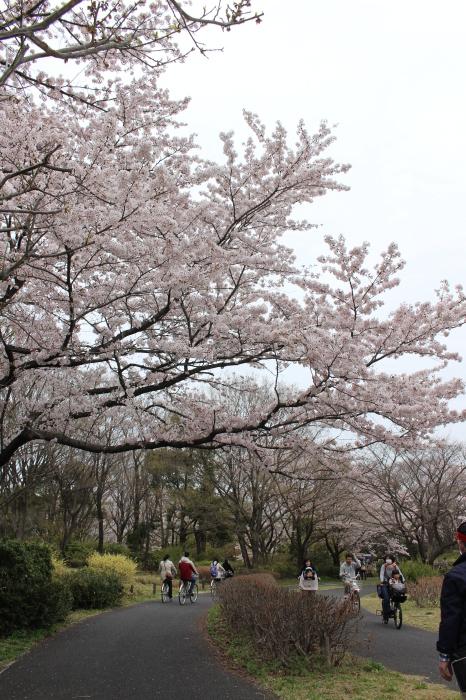 2015年 昭和記念公園の桜とチューリップ_a0180279_15341118.jpg