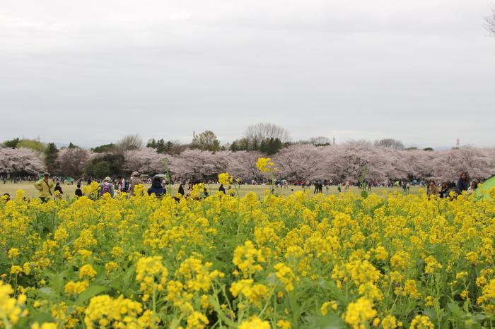 2015年 昭和記念公園の桜とチューリップ_a0180279_15365789.jpg
