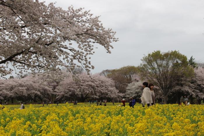 2015年 昭和記念公園の桜とチューリップ_a0180279_15405832.jpg