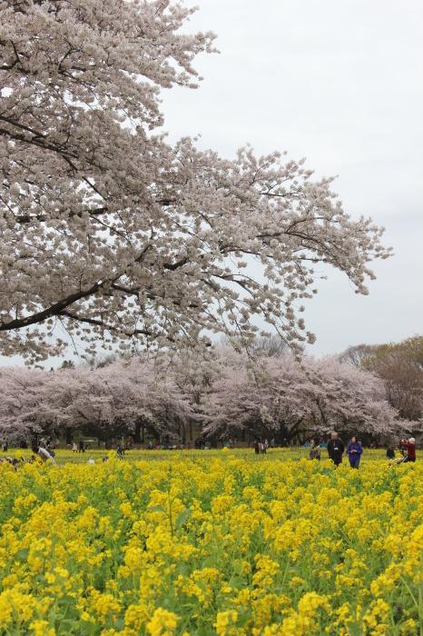 2015年 昭和記念公園の桜とチューリップ_a0180279_15415726.jpg