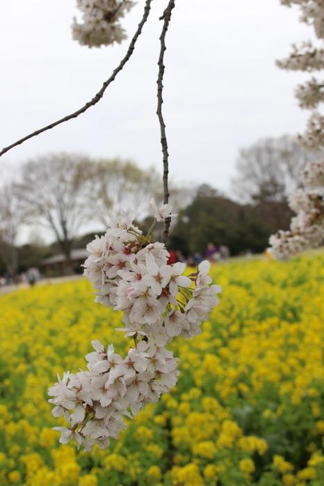 2015年 昭和記念公園の桜とチューリップ_a0180279_15424150.jpg