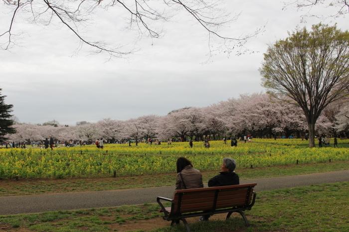 2015年 昭和記念公園の桜とチューリップ_a0180279_15434214.jpg