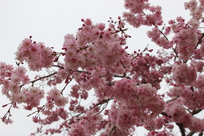 2015年 昭和記念公園の桜とチューリップ_a0180279_15450147.jpg