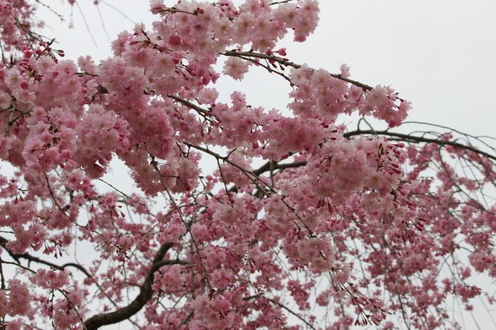 2015年 昭和記念公園の桜とチューリップ_a0180279_15464520.jpg