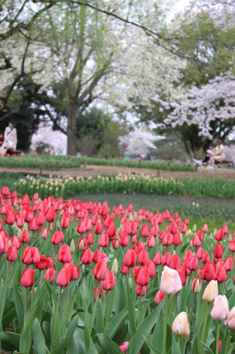 2015年 昭和記念公園の桜とチューリップ_a0180279_15545421.jpg