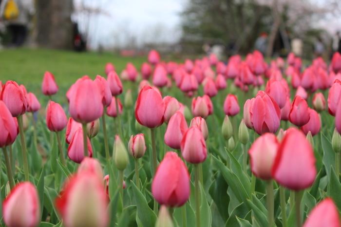 2015年 昭和記念公園の桜とチューリップ_a0180279_15592849.jpg