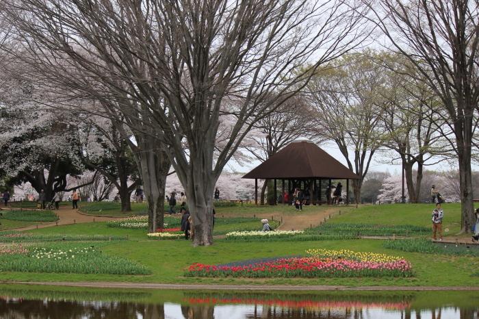 2015年 昭和記念公園の桜とチューリップ_a0180279_16164847.jpg