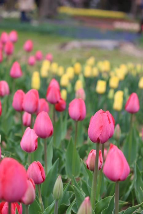 2015年 昭和記念公園の桜とチューリップ_a0180279_16202415.jpg