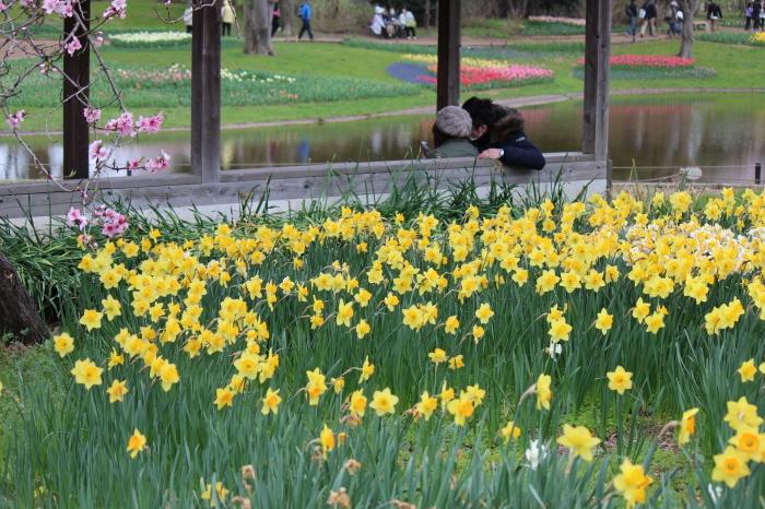 2015年 昭和記念公園の桜とチューリップ_a0180279_16213904.jpg