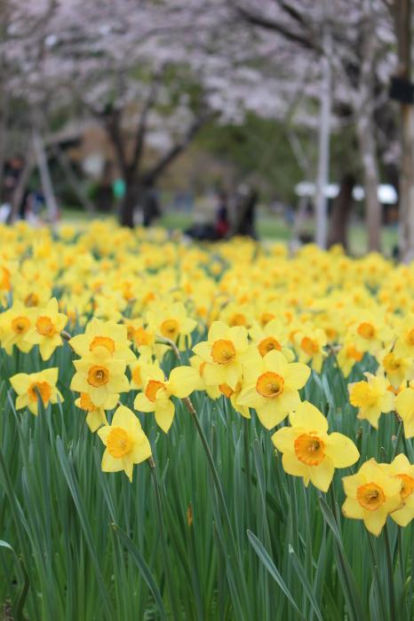 2015年 昭和記念公園の桜とチューリップ_a0180279_16224714.jpg