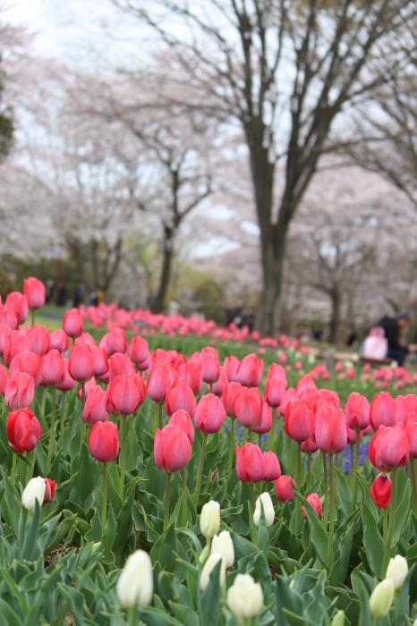 2015年 昭和記念公園の桜とチューリップ_a0180279_16250579.jpg