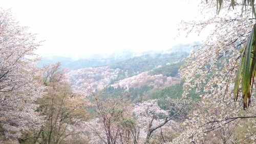 2015年4月8日の吉野山 上千本の桜_f0211506_16403905.jpg