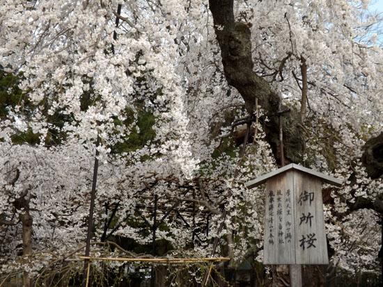 上賀茂神社 2015さくら情報34_e0048413_19295111.jpg