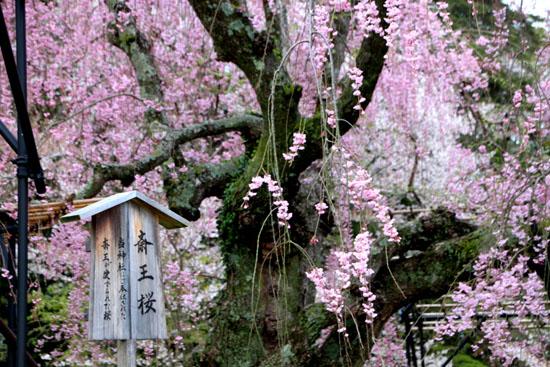 上賀茂神社 2015さくら情報34_e0048413_19303995.jpg