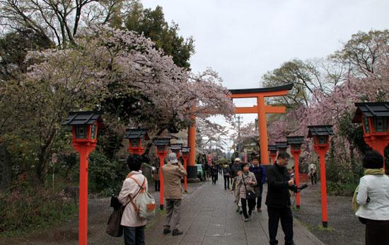 平野神社 2015さくら情報35_e0048413_22026100.jpg