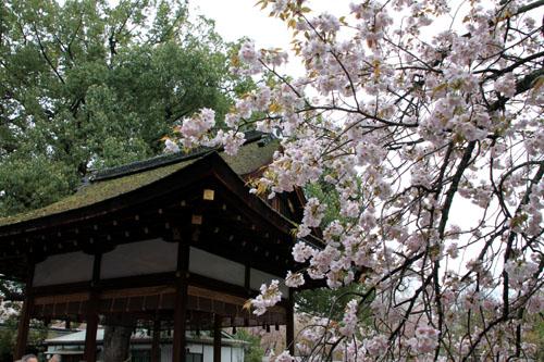平野神社 2015さくら情報35_e0048413_2212824.jpg