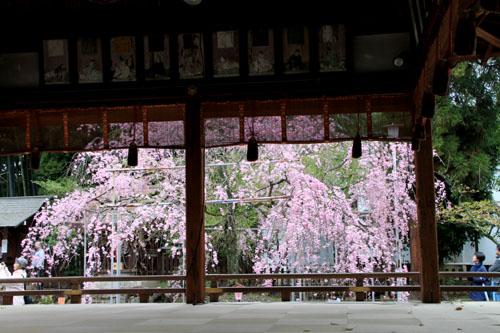 平野神社 2015さくら情報35_e0048413_2214342.jpg