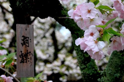 平野神社 2015さくら情報35_e0048413_2221357.jpg