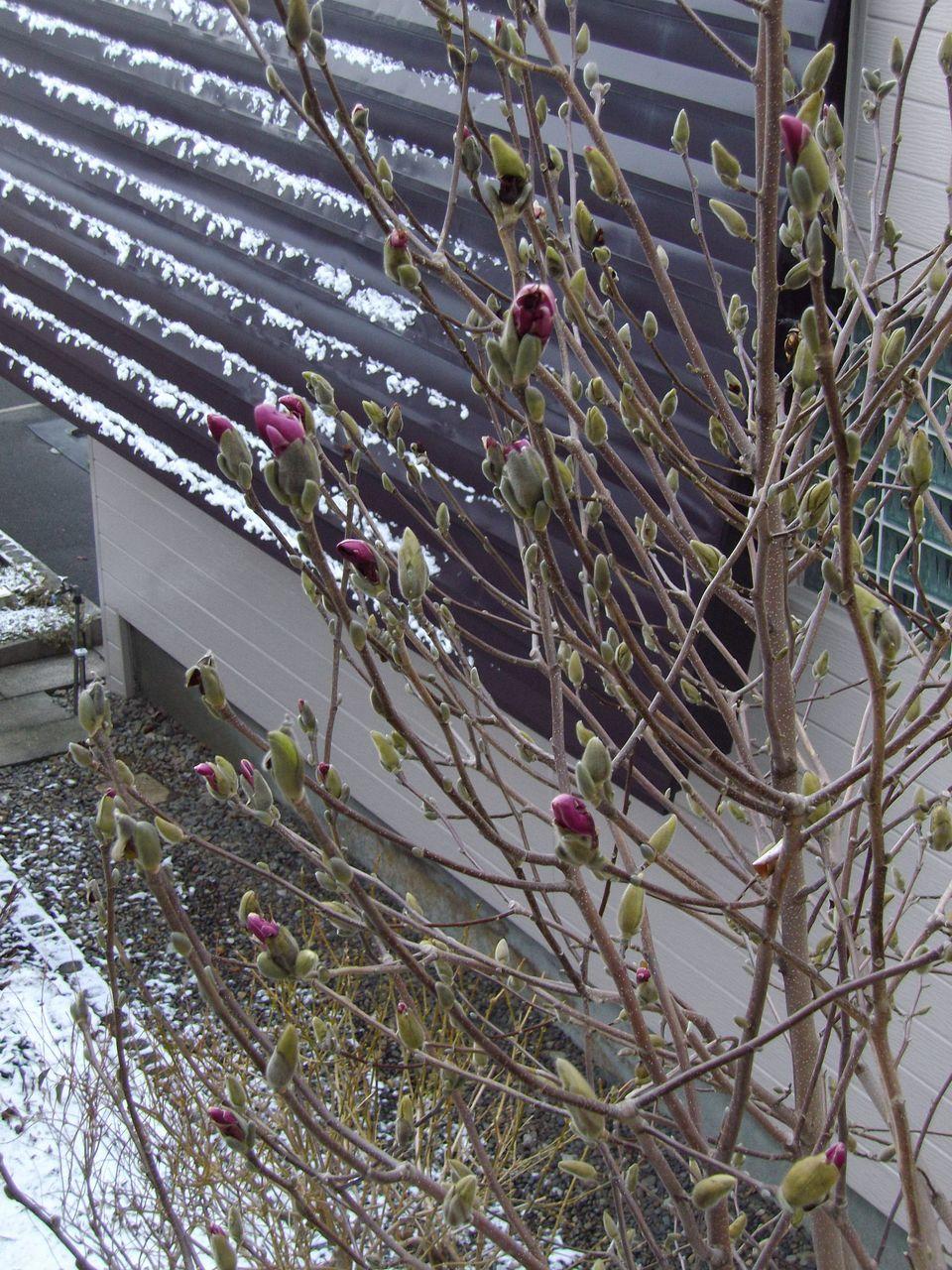 モクレンの蕾を凍えさせる雪_c0025115_15462653.jpg