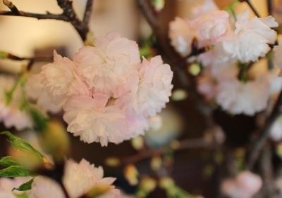 花だより 淡い色の八重桜_a0279848_14491780.jpg