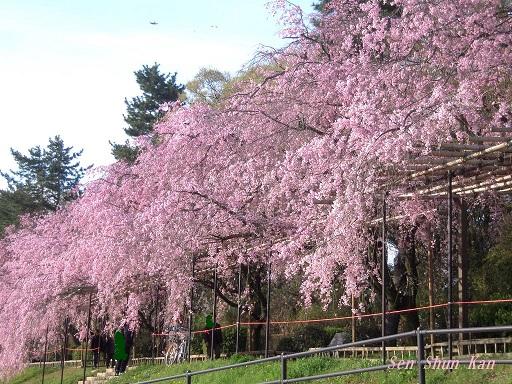 半木の桜が満開 2015年4月8日_a0164068_18312093.jpg