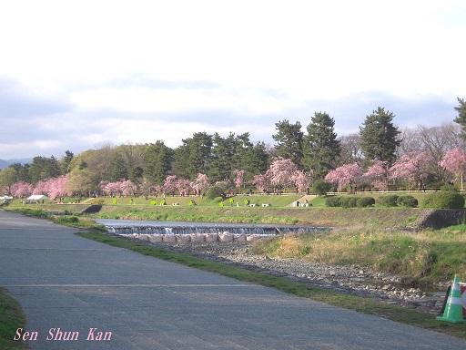 半木の桜が満開 2015年4月8日_a0164068_18314518.jpg