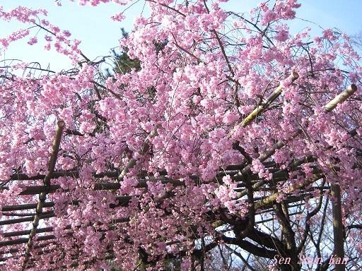 半木の桜が満開 2015年4月8日_a0164068_18321075.jpg