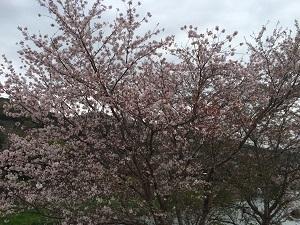 桜の季節_b0334271_15295855.jpg