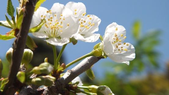佐藤錦(さくらんぼ)の花が咲き出しました!_b0214473_2144992.jpg