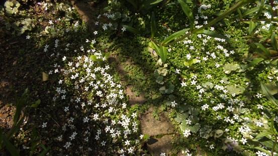 佐藤錦(さくらんぼ)の花が咲き出しました!_b0214473_21592070.jpg