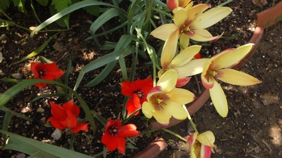 佐藤錦(さくらんぼ)の花が咲き出しました!_b0214473_225240.jpg
