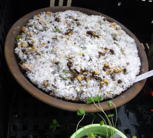 サギソウの鉢に・・・霜柱が~~!_a0136293_15254718.jpg