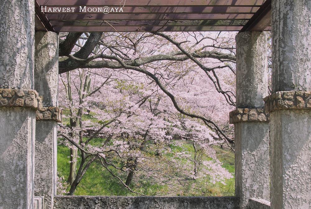 額桜_b0208495_23502041.jpg