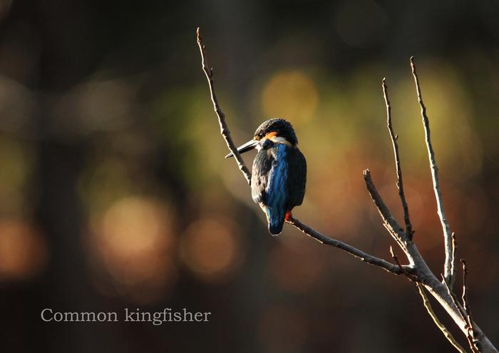 カワセミ:Common kingfisher_b0249597_5423884.jpg