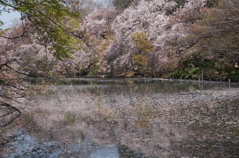 Sakura with water_f0006713_21550945.jpg