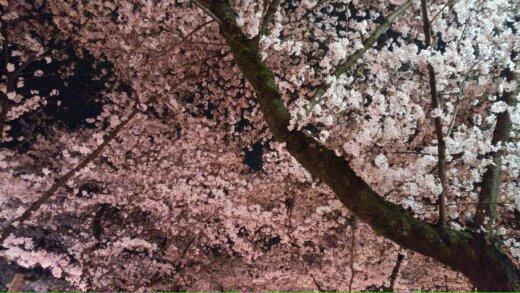 桜~***_f0068517_125012.jpg