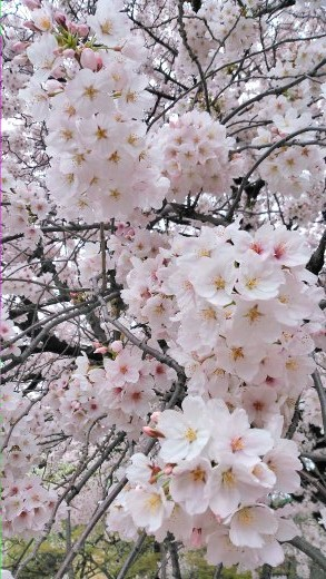 桜~***_f0068517_1292668.jpg