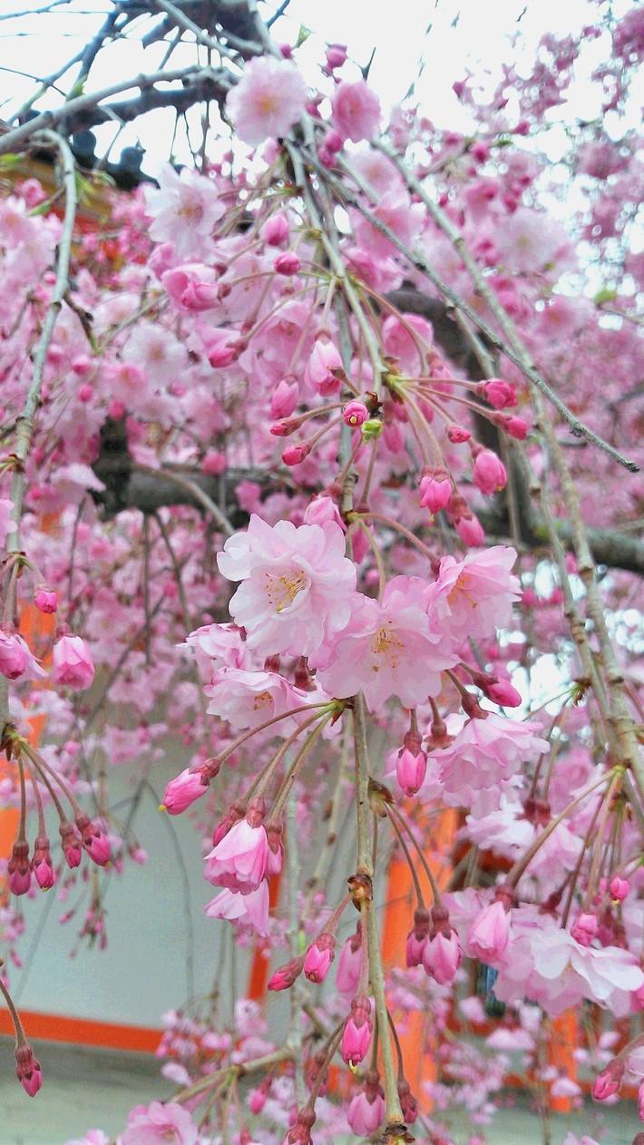 桜~***_f0068517_1295281.jpg