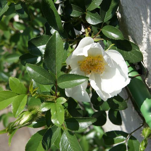 ナニワバラが咲き始めました。_a0026127_16253458.jpg