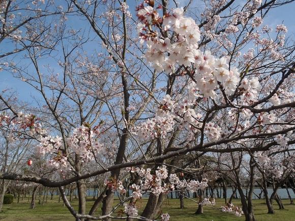 ●4月9日(木)かみす桜まつり会場開花状況●_f0229750_924117.jpg